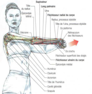 muscle, anatomy, stretching, forearm, exercise