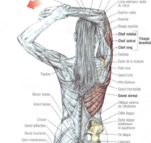 stretching, triceps, anatomy, muscle