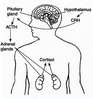 cortisol hormone organ body
